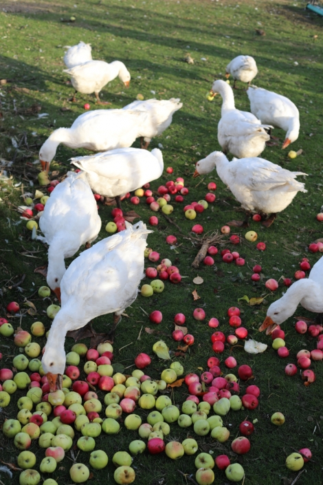 Feeding the geese apples, what a beauty. The cirkles of permaculture unfold in front of us, and we are inspired and full of peace.